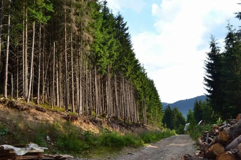 На заході України готується масштабна вирубка лісу заради курорту: активісти просять про допомогу