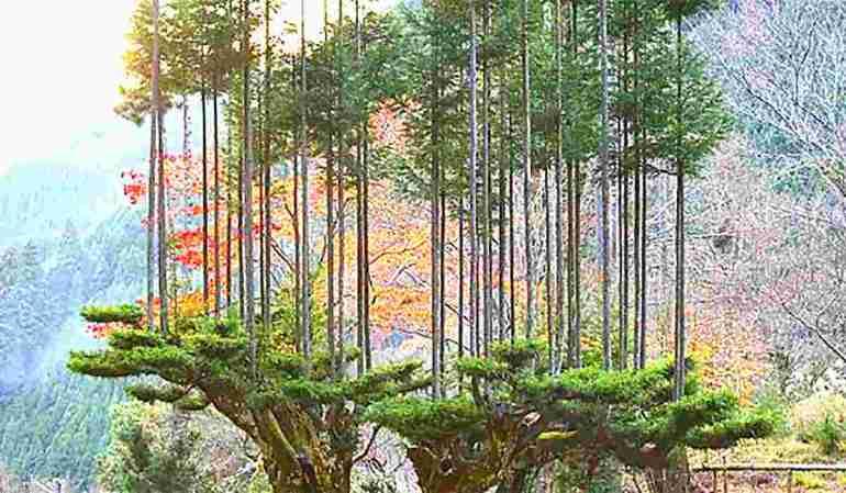 Daisugi technique – पेड़ के ऊपर पेड़ डाइसुगि तकनीक