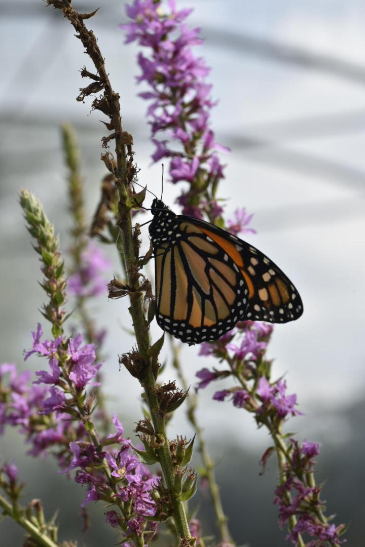 Photo of a monarch butterfly I took last year