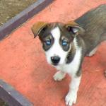 Alaskan Husky Puppy With Ocean Blue Eyes Aww