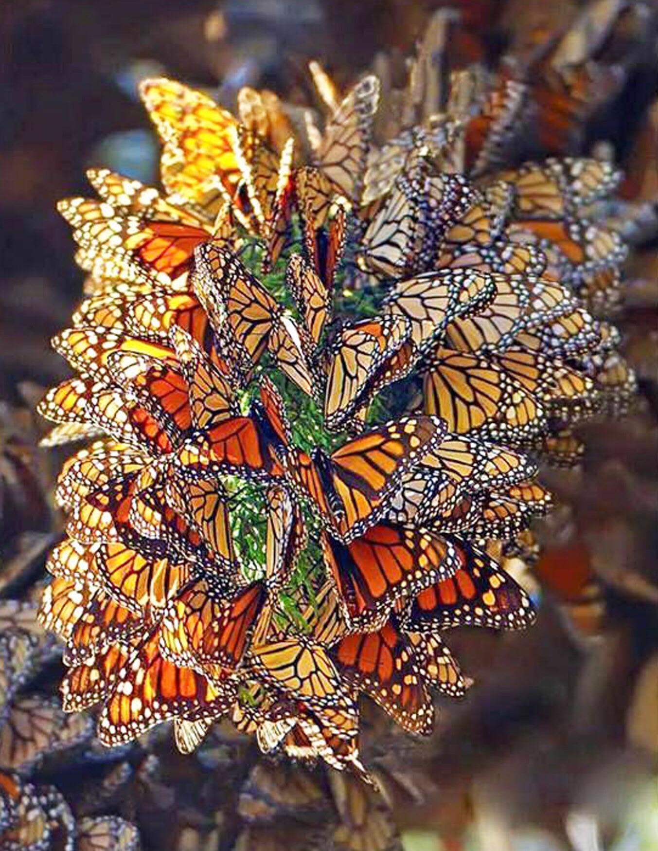 Swarm Of Monarch Butterflies Natureisfuckinglit