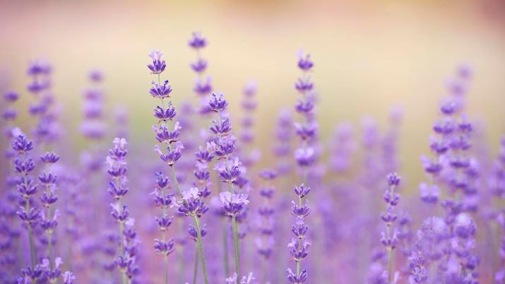 Lavender [1920 x 1080]