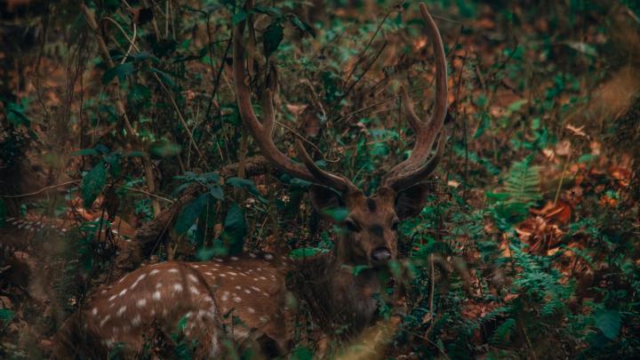 Deer [1920X1080]
