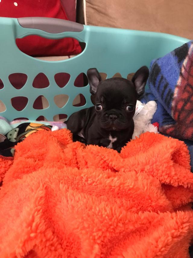 meet fez ! 6 week old french bulldog ! : aww