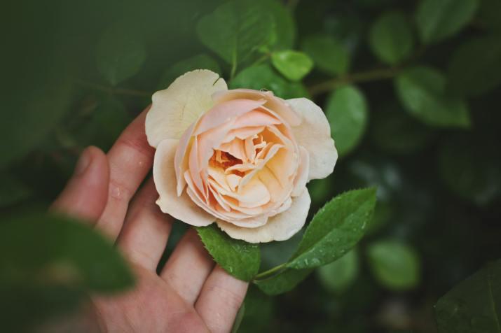 Juliet Rose (Photo credit to Maja Petric) [3888 x 2592]