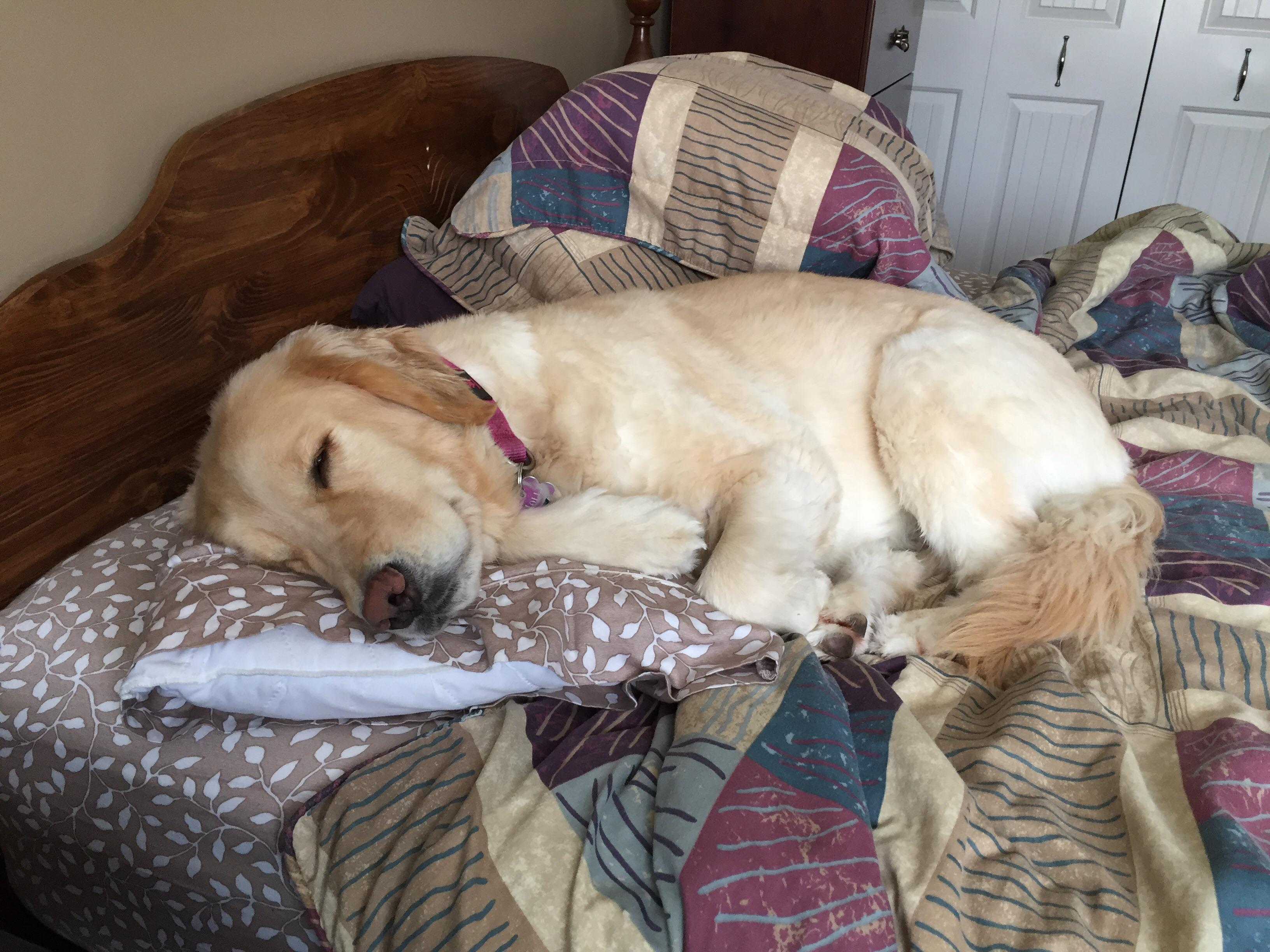 my dog using my pillow