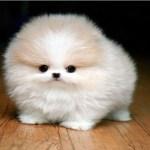 Meet My Cutest Tea Cup Puppy Aww
