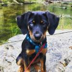Layla My Half Blue Eyed Beagle Rottweiler Pup Aww