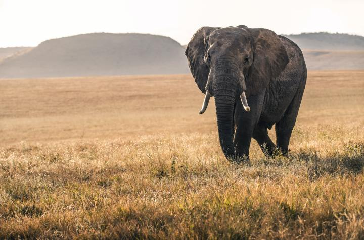 An elephant in the Lewa conservancy in Kenya (Photo credit to David Clode) [5908 x 3908]