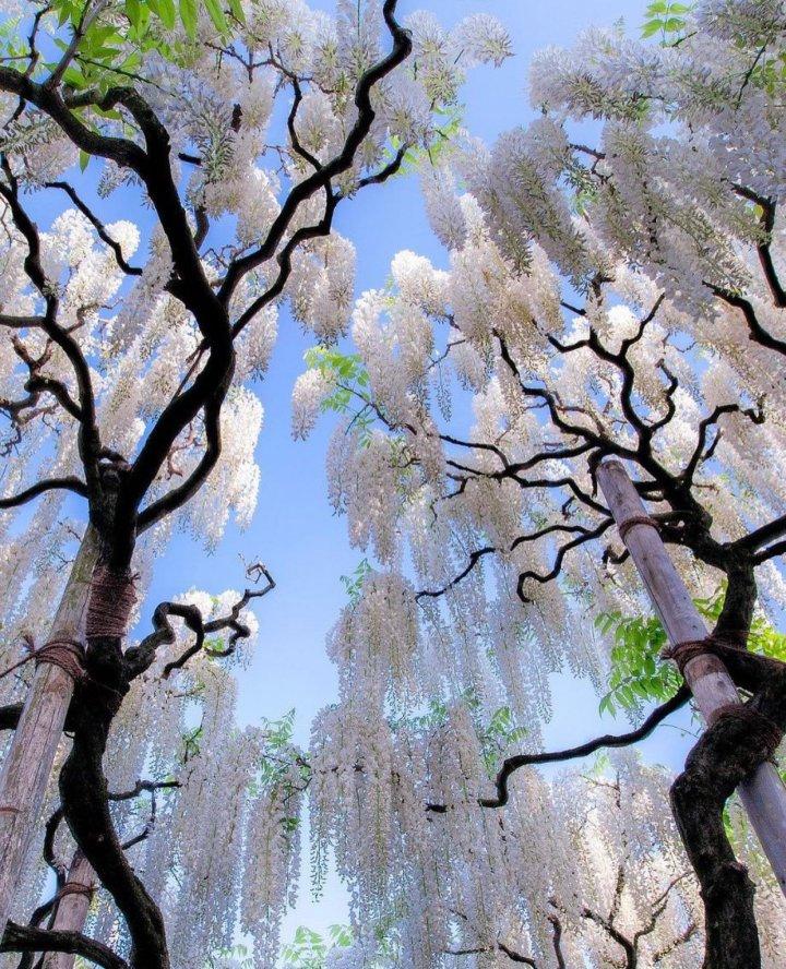 White Japanese Wisterias