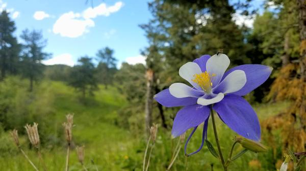 columbine flowers facts and growing tips the spruce - HD4032×2268