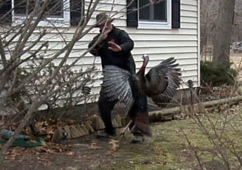 Image result for images of angry turkey attacking man