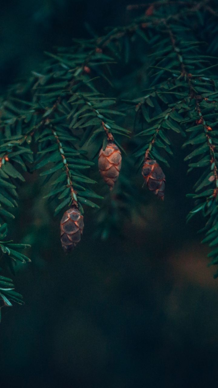 Phone wallpaper spruce, cones, needles, branches, macro, green HD phone background