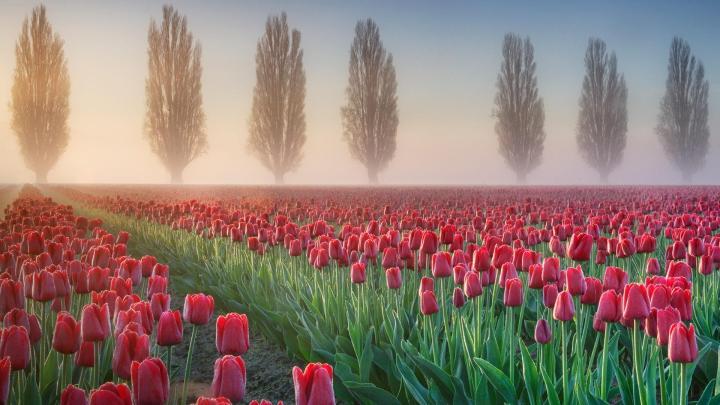 Tulip field – Washington [1920×1080]