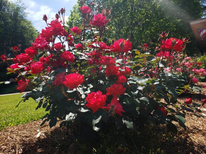 Rose bush [4032 x 3024]
