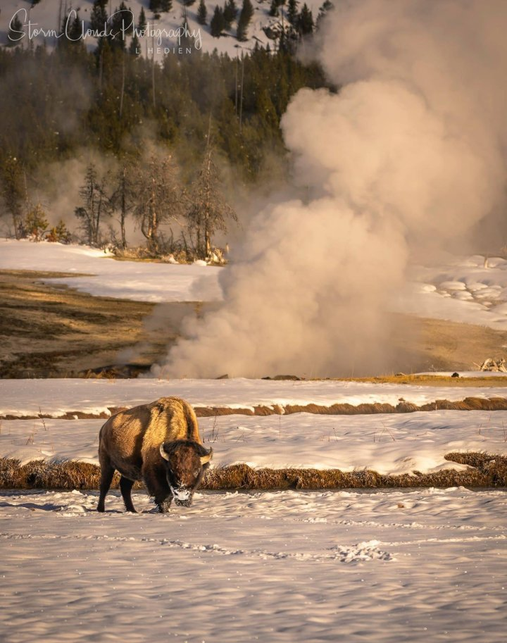 Bison in West Yellowstone (Photo credit to Laura Hedien)