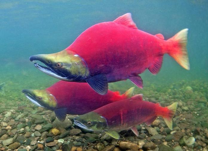 Sockeye Salmon in a creek off Bristol Bay in Alaska, Pat Clayton pic : pics