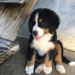 Baby Bernese Mountain Dog Aww