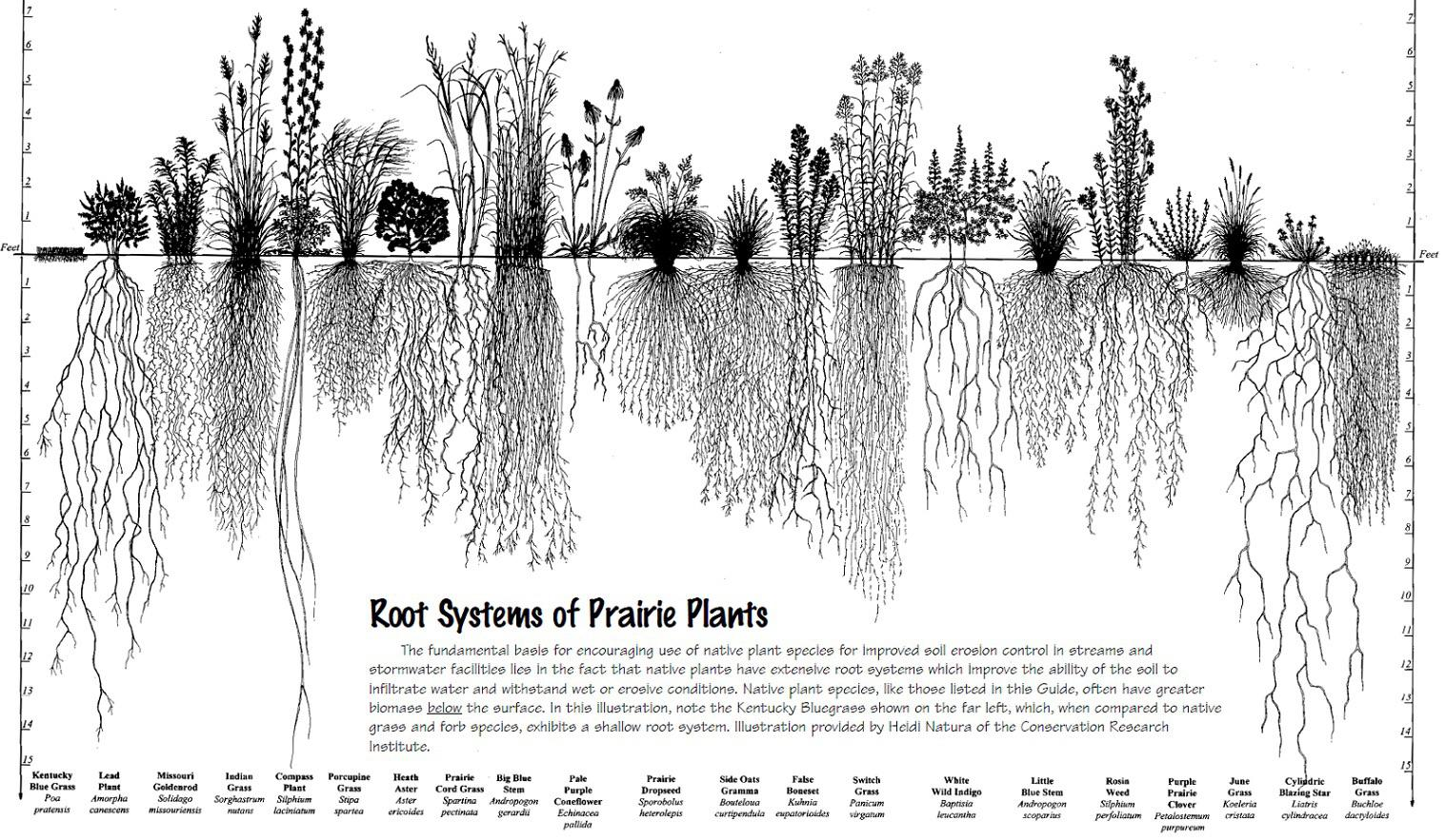 A Chart Comparing Root Systems Of North American Prairie