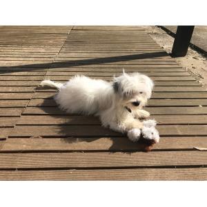 Soothing Betty Feib Bichon Maltese Copy Maltese Chihuahua