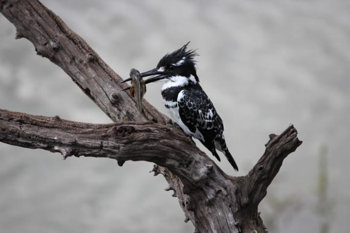 Pied Kingfisher (Bontvisvanger) South Africa (Photo credit to Valerie Bosch) [5184 x 3456]