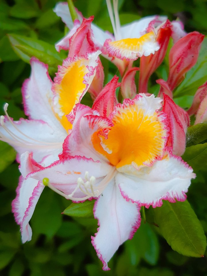 Rhododendron Humboldt Picotee