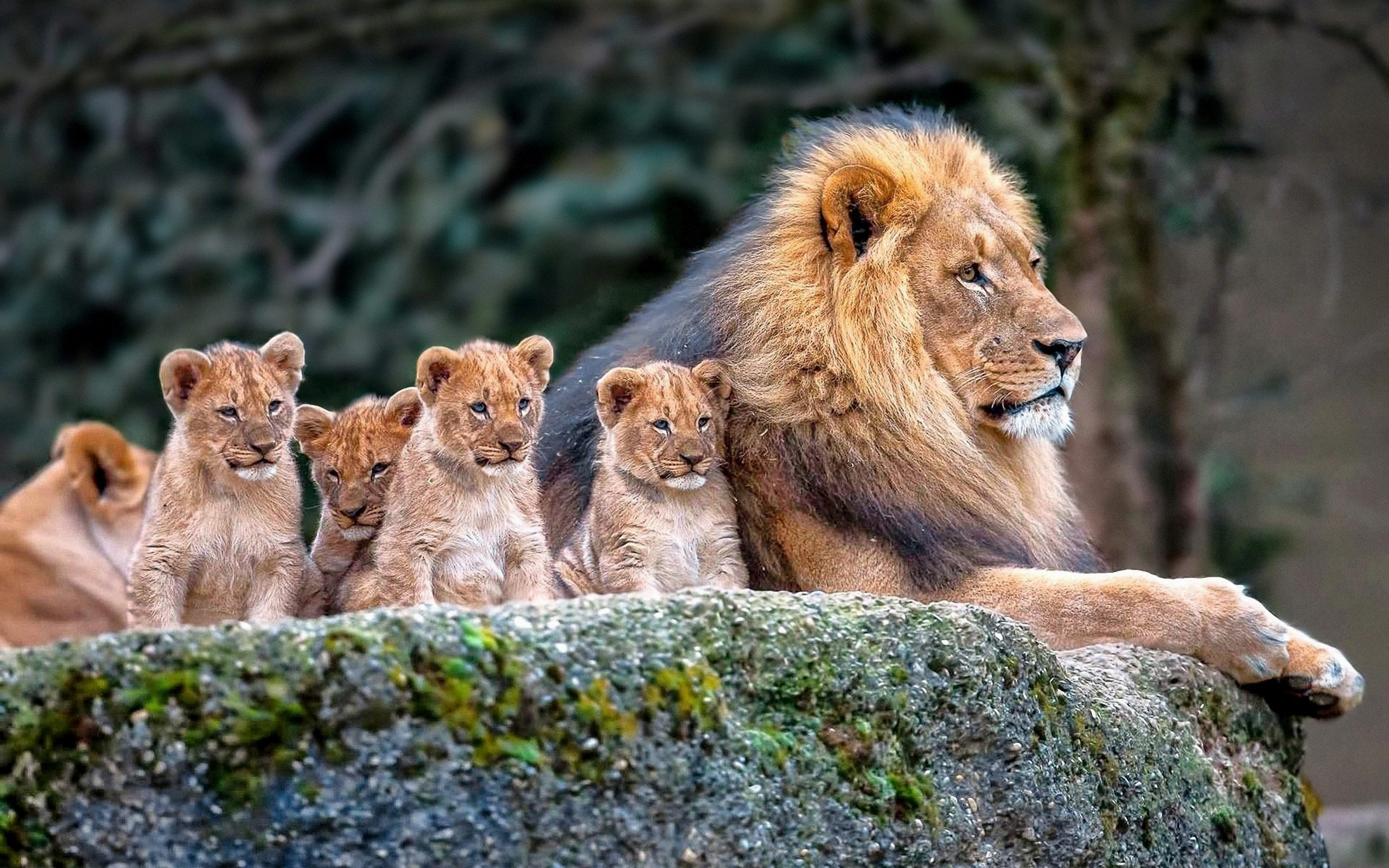Lion Family Baby Lions Hd Wallpaper Lions