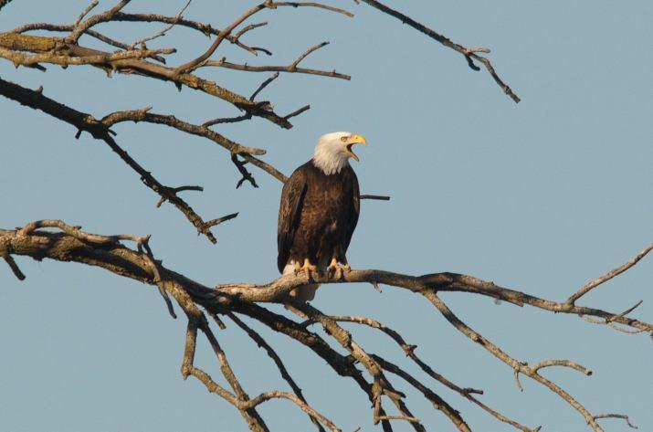 Bald Eagle (Photo credit to Joel Craig) [2048 x 1357]