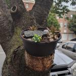 My Neighbor Turned A Tree Stump Into A Succulent Planter Succulents
