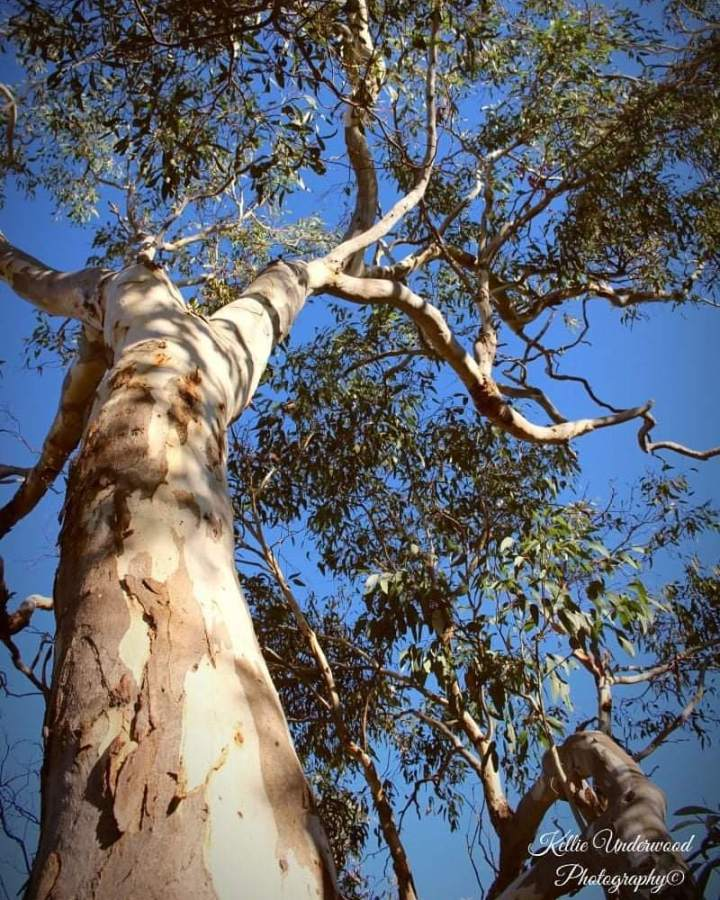 Pink Gum Tree, Aldinga Scrub Conservation Park South Australia (Photo credit to Kellie Underwood)