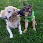 Golden Retriever Reluctantly Shares Stick With German Shepherd Puppy