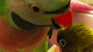 Parakeet Says I Love You Baby Video