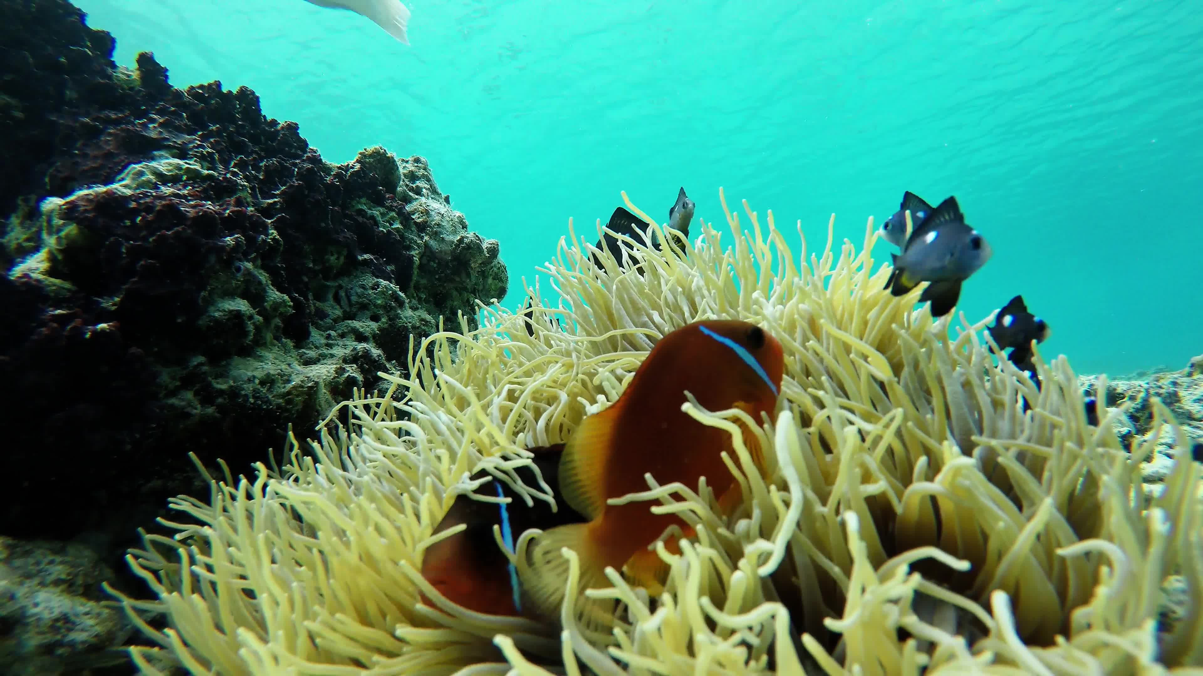 Clownfish On Reef In Fiji Play In Venomous Sea Anemone