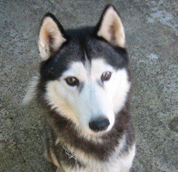 2 chiens nordiques a adopter a la spa