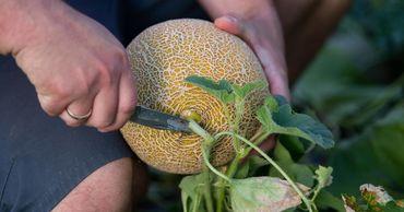 В Молдове к концу сезона соберут меньше арбузов и дынь.