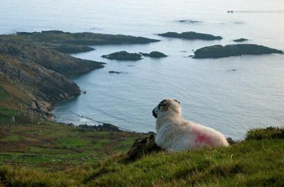 Ireland - Ring of Kerry: Sheep