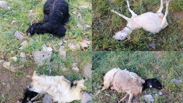 Kurtlar sürüye saldırdı: 21 hayvan öldü