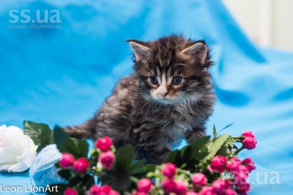 SS.ua: Питомник предлагает к резерву котика с отличными ...