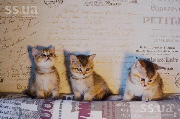 SS.ua: Открыта бронь на шотландских прямоухих котят окраса ...
