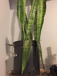 Houseplants What Is Happening To My Snake Plant