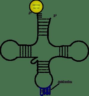 Draw a tRNA diagram  TeX  LaTeX Stack Exchange