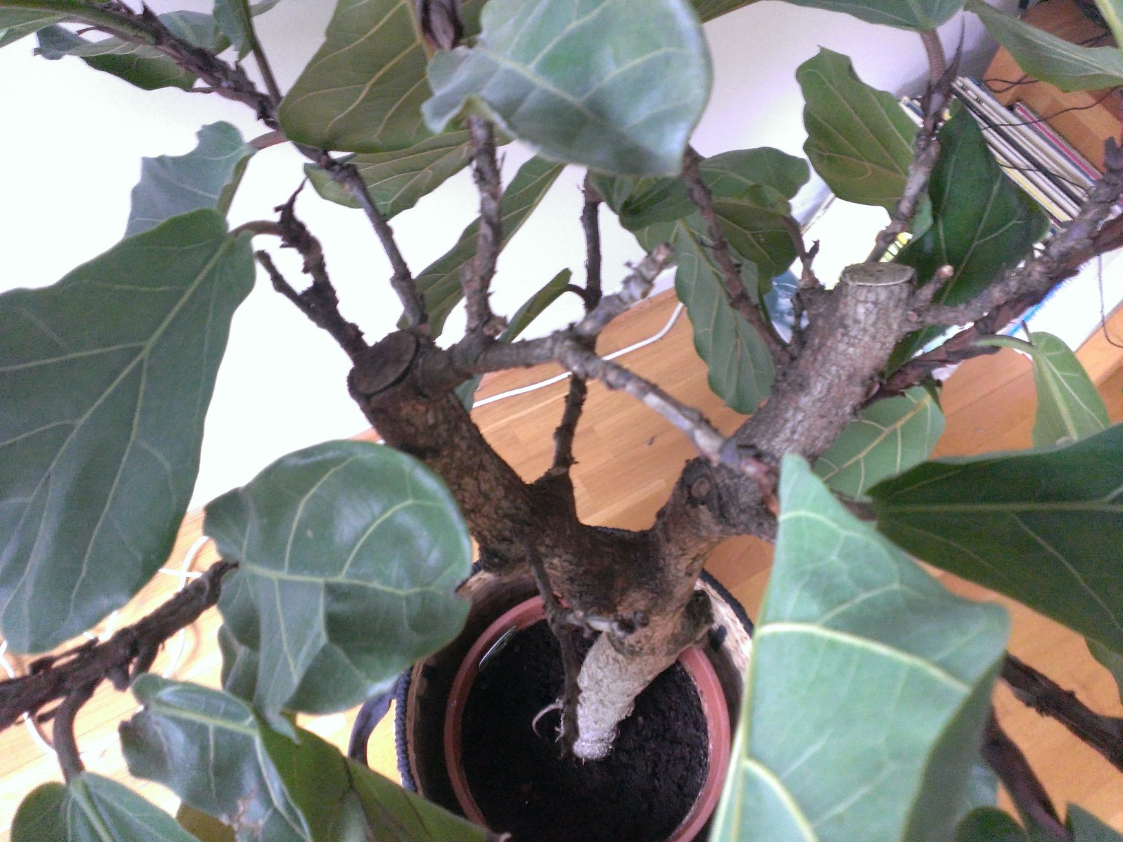 Houseplants How To Prune A Fiddle Leaf Fig Tree Gardening Amp Landscaping Stack Exchange