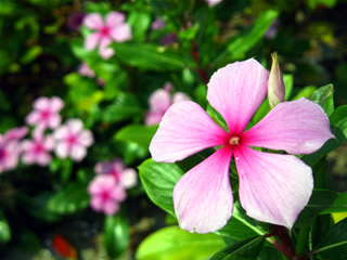 identification   What is the name of this plant with 5 petaled pink     enter image description here