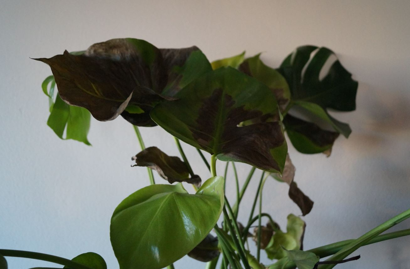 Houseplants Whats Wrong With My Monstera Deliciosa Gardening Amp Landscaping Stack Exchange