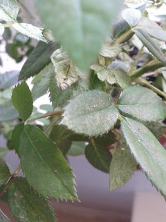 Plant Health White Spots On Rose Leaves Gardening