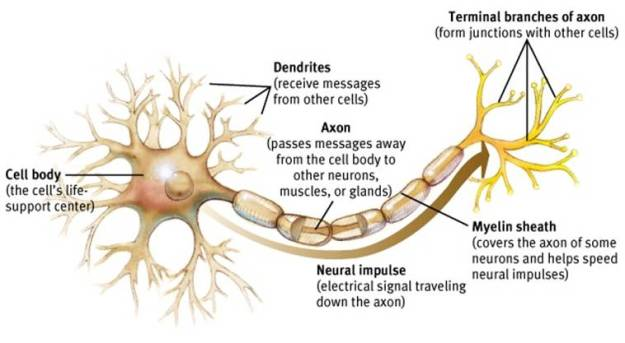 Image result for dendrites