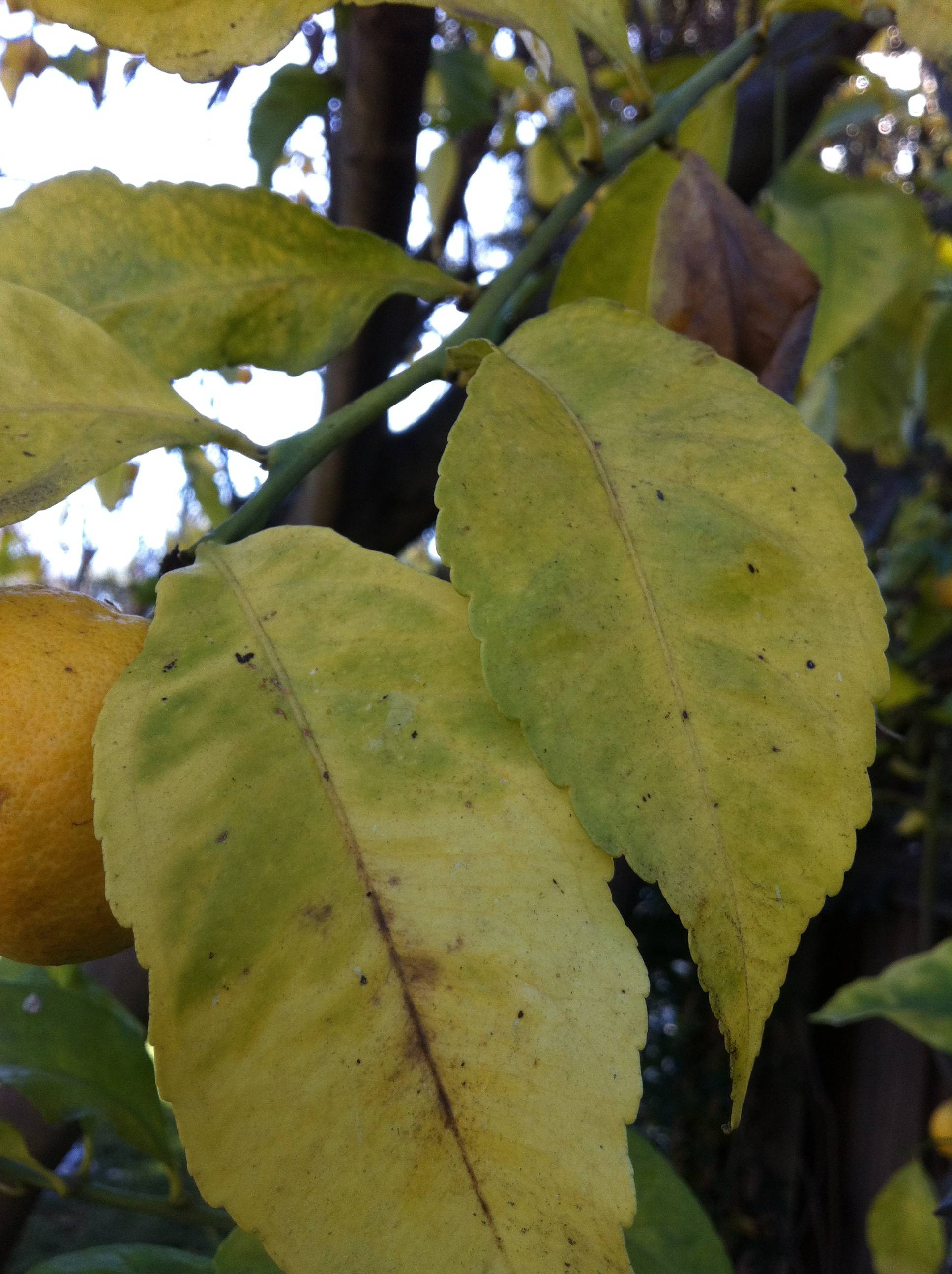 Diagnosis How Should A Lemon Tree With Yellowing Leaves