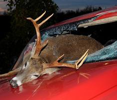 vehicle-deer collisions के लिए चित्र परिणाम
