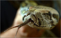 No small problem: Burmese pythons can grow to 20 feet and weigh 250 pounds.