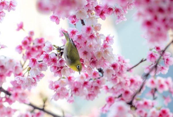 Картинка расцветающие ветки сакуры и птичка японская ...